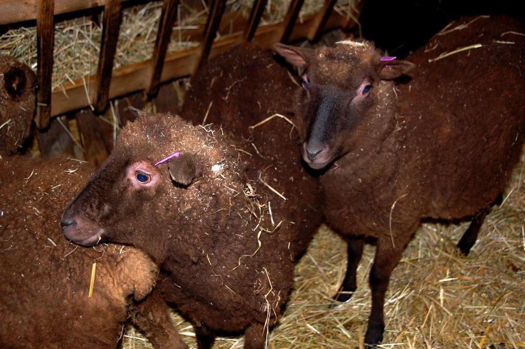 Finska lantrasfår på Stentorps fårfarm