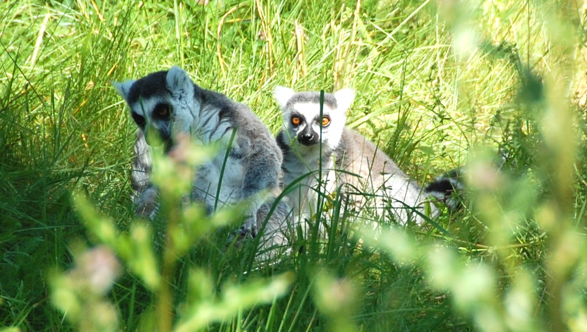 Lemur Furuviksparken