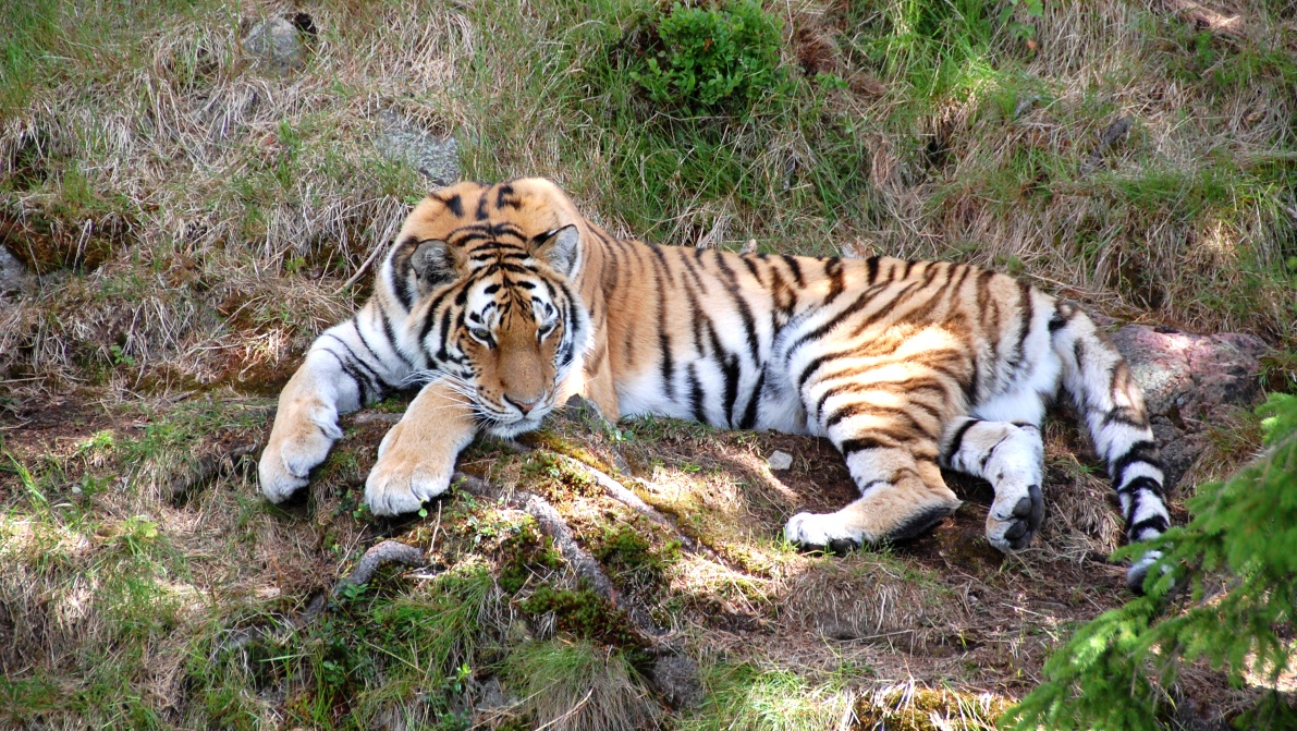 Tiger i Orsa björnpark