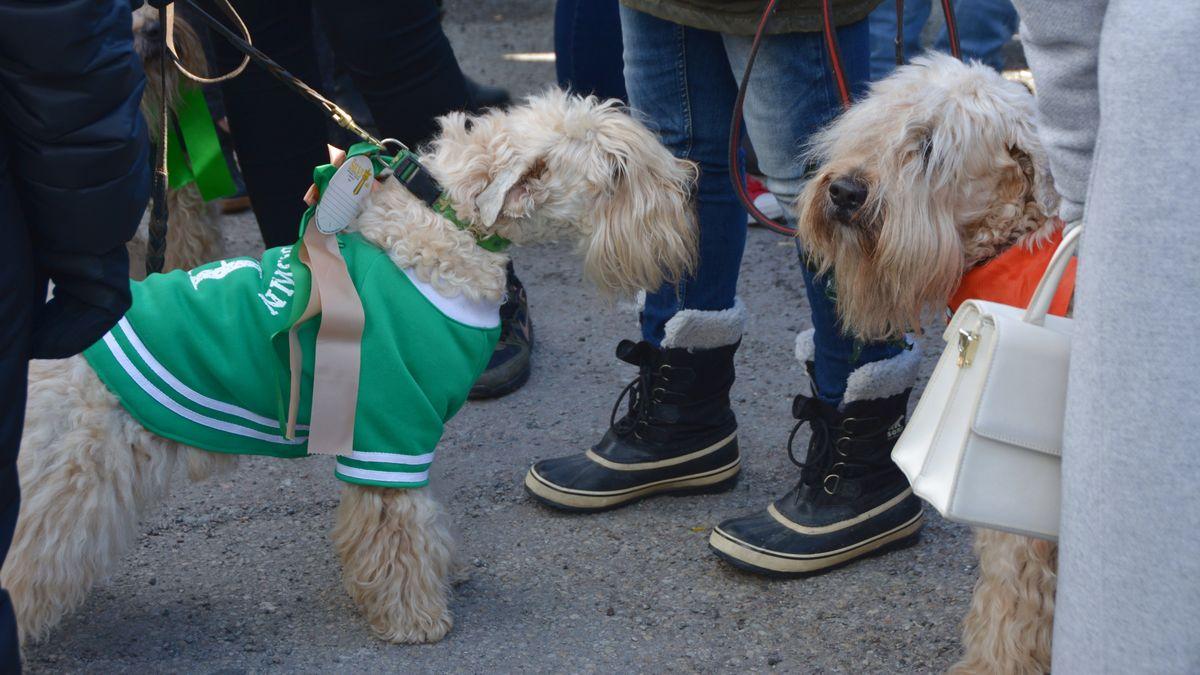 St Patricks Day hundar