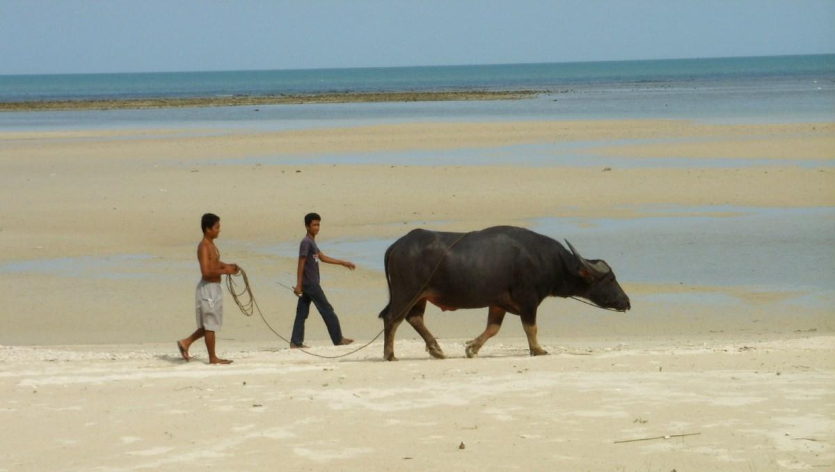 Vattenbuffel Thailand
