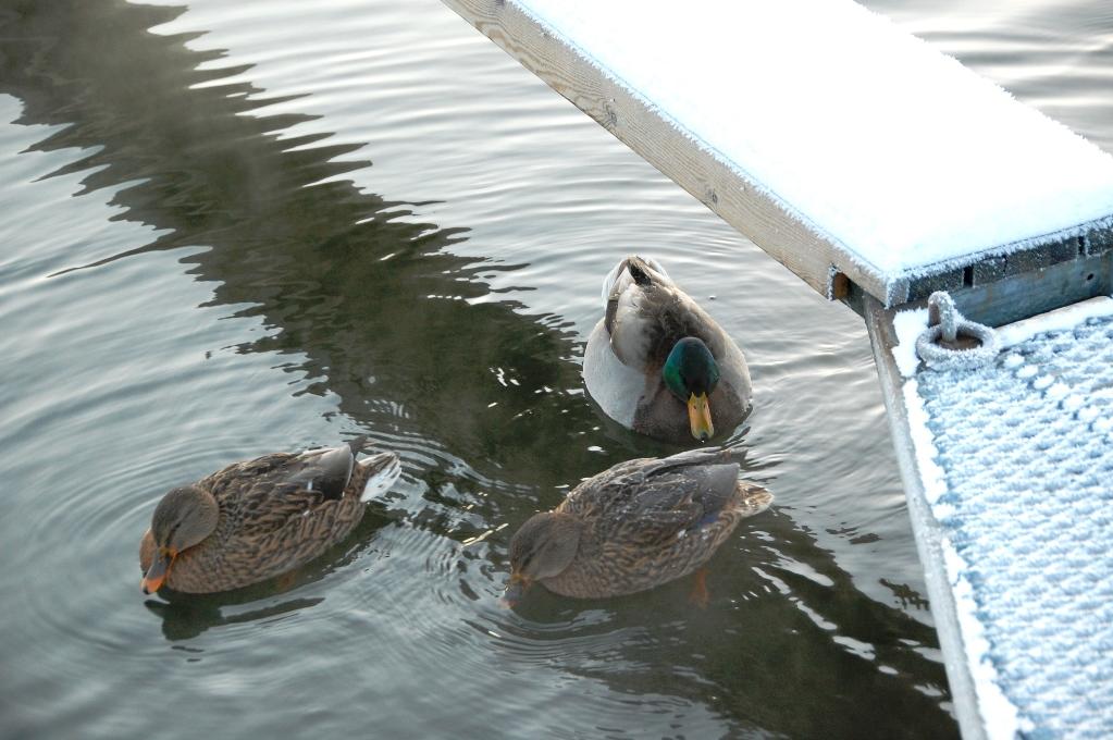 Änderna gillar de isfria vattnet i vår marina