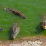 Krokodilpark i Agadir – bland krokodiler i Crocopark