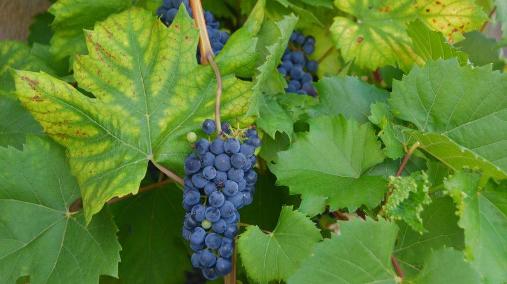 vinregionen Laxaux