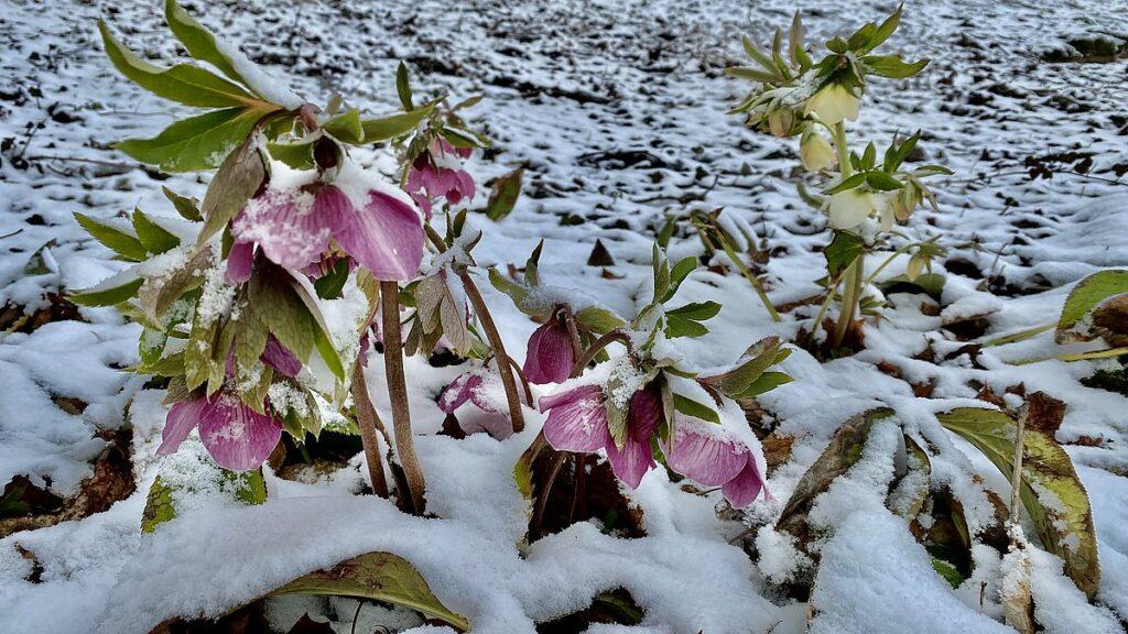 Blommor under snö