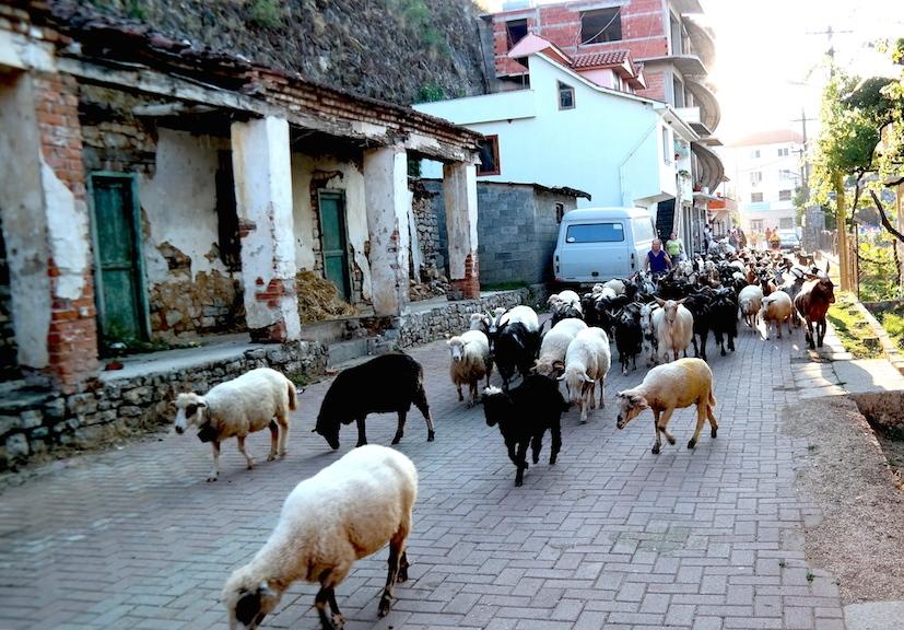 Fåren och getterna på väg genom den lilla byn Kisha Lin vid Ohridsjön