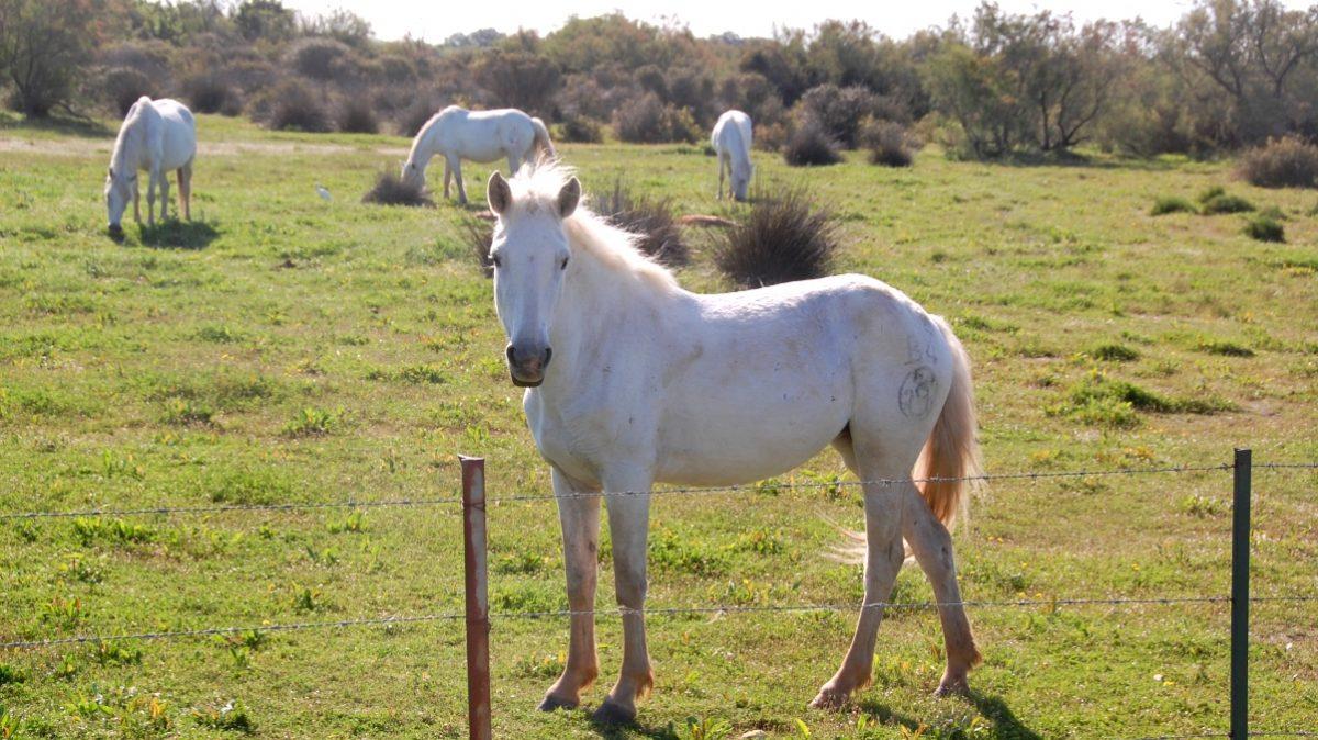Camargue hästar