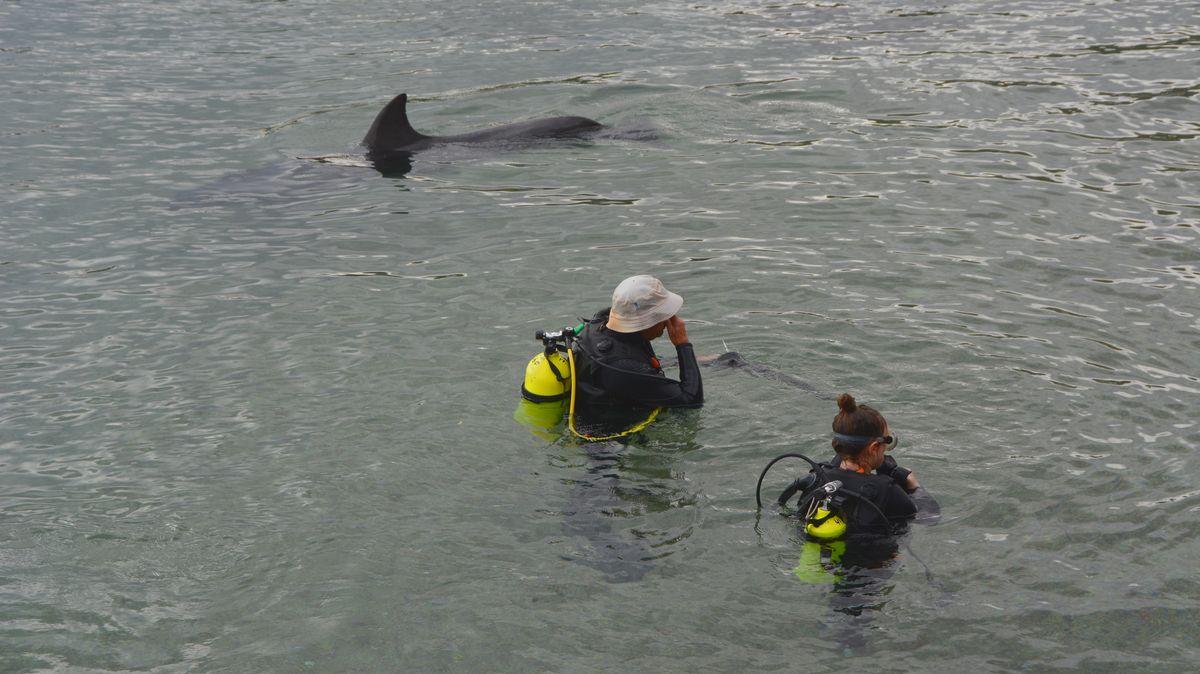 Dykare med delfin