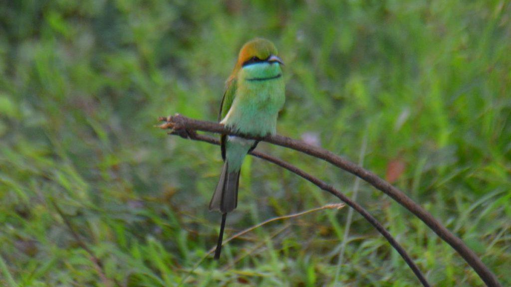 fågel i Sri Lanka
