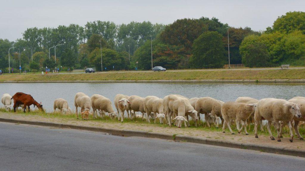 Får i Flandern i Belgien