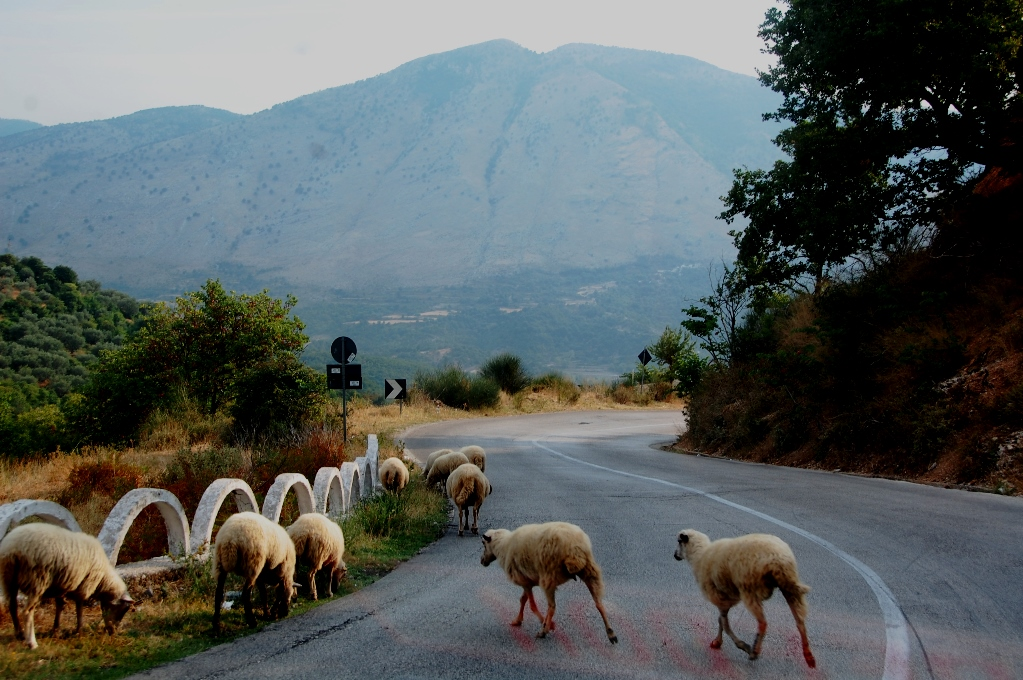 framme i Albanien. Det finns mycket får och getter i södra Albanien