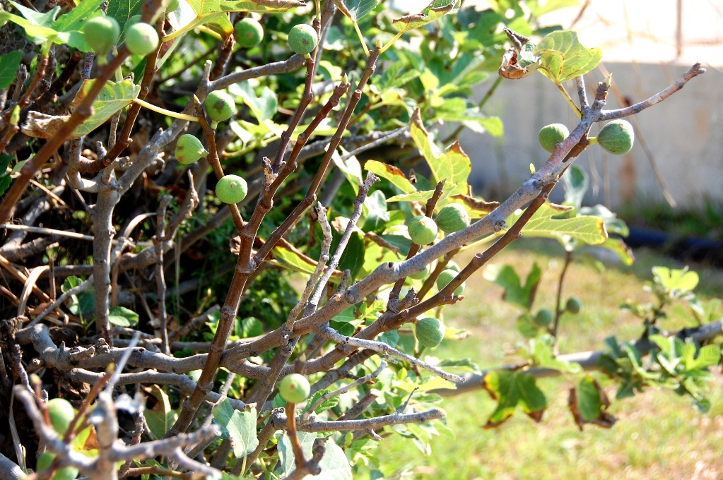 Fikonträdet vid vår husbil - fikonen mognar snabbt och varje dag är det några nya som är ätmogna!