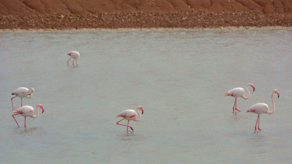 Flamingos Eilat
