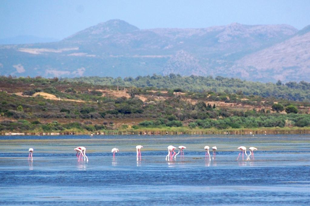 Flamingos i det grunda vattnet på uddens insida