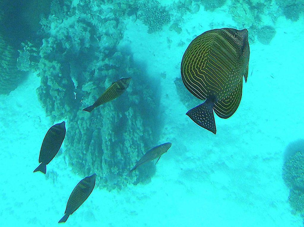 Snorkla i Röda havet bland massor av fiskar
