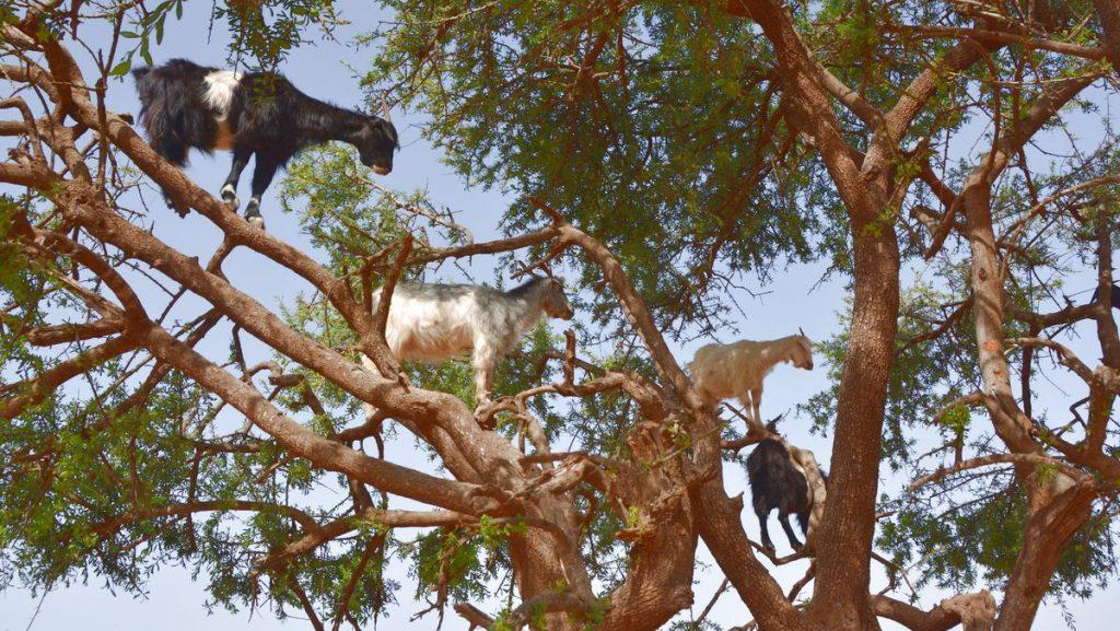 Getter i träd Marocko