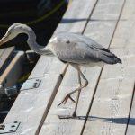 En häger är trogen gäst i vår marina