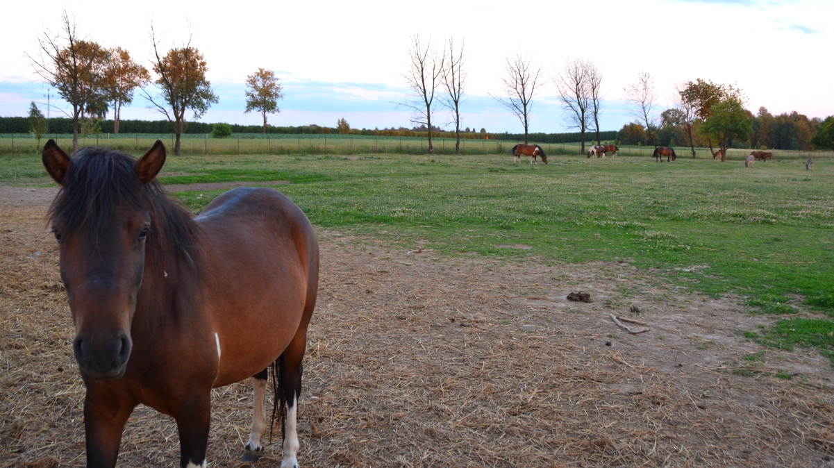 Häst i Polen