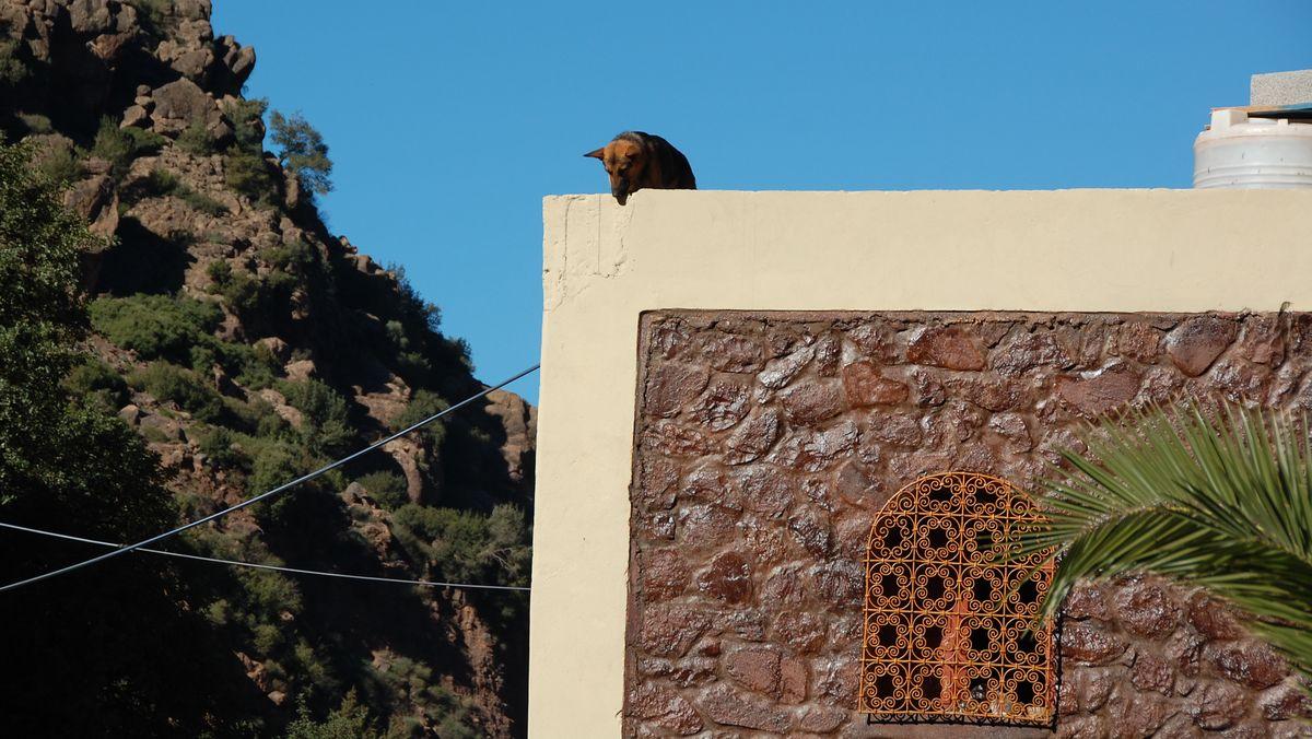 Hund Marocko