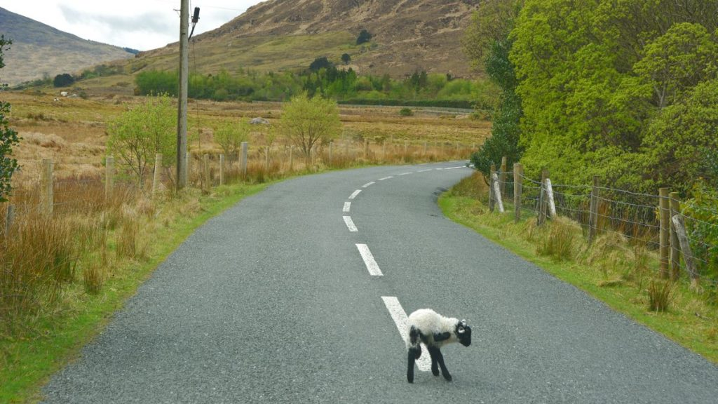 Irland lamm