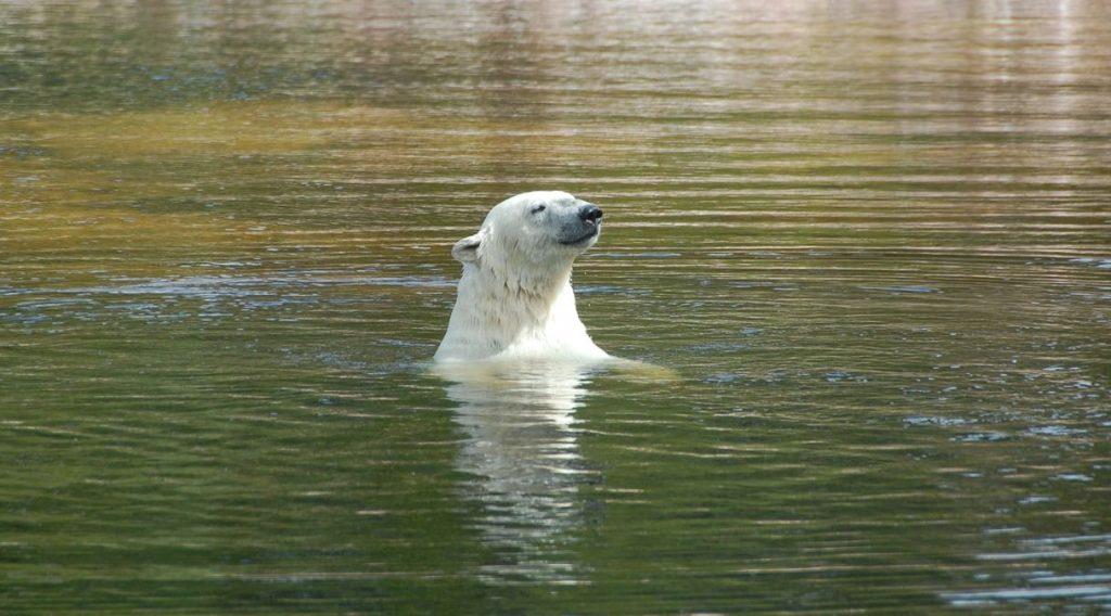 Isbjörn Orsa björnpark