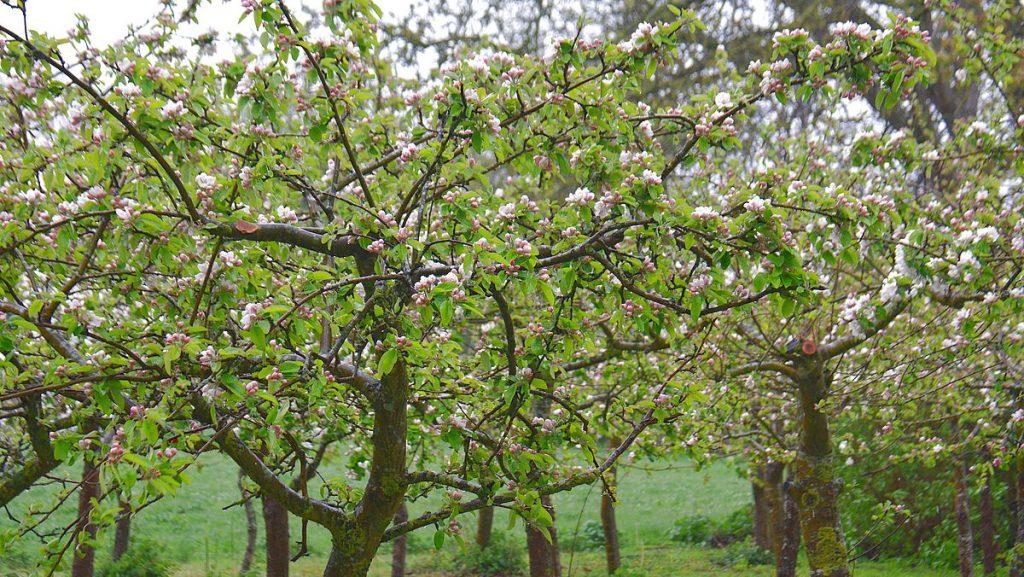 Äppelträd på Ivön