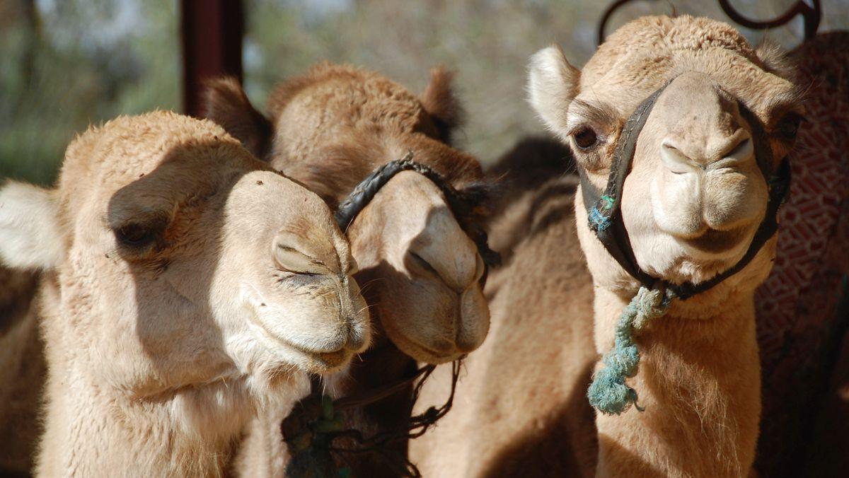 Dromedarer Marocko