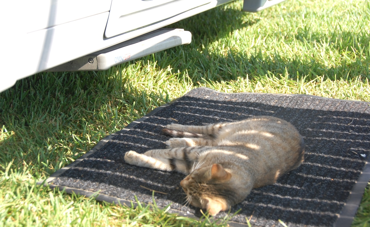Katt på camping