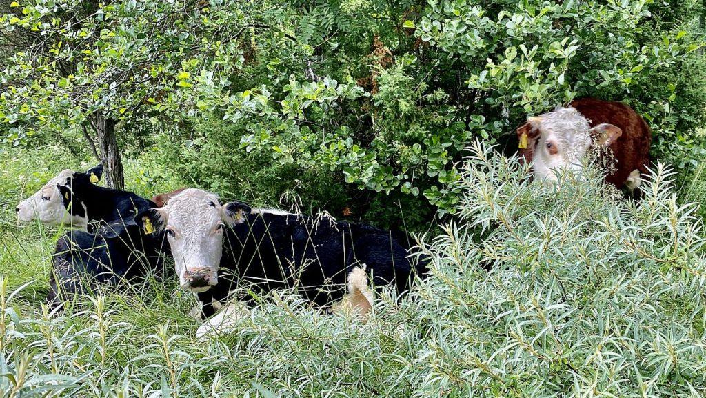 Kor på Gräsö