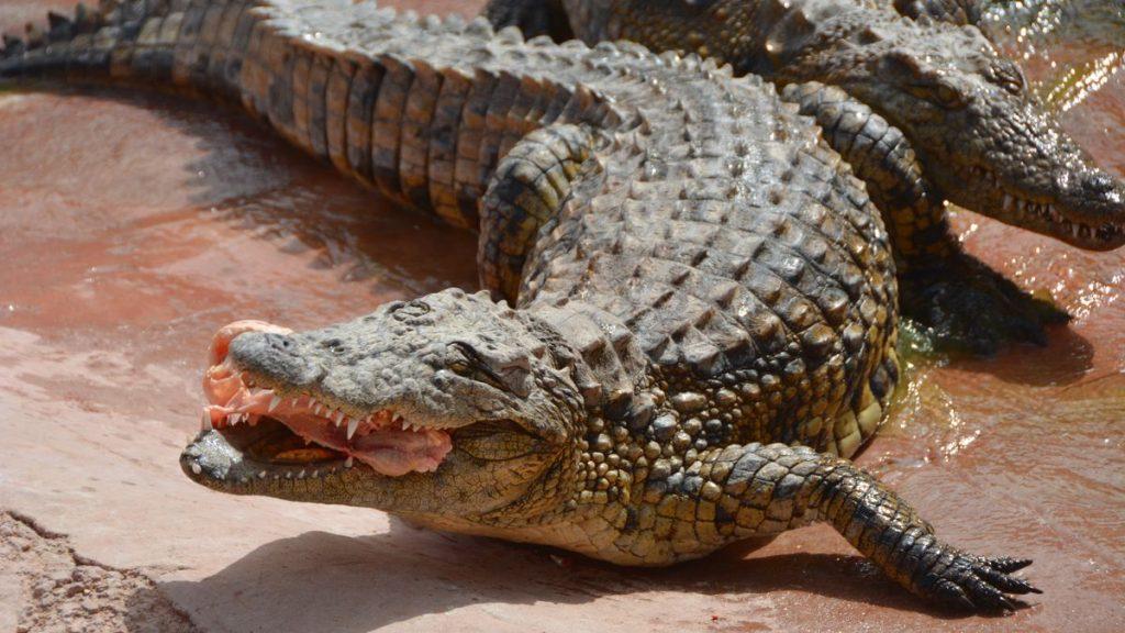 Krokodiler matas med kyckling