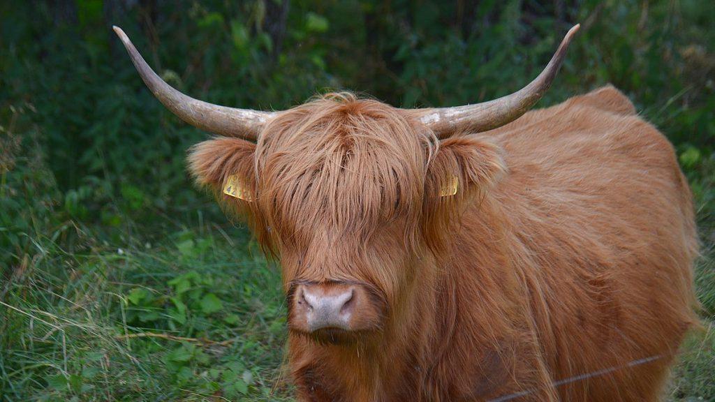 Kor på Kynö i Estland