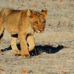 Afrikansk safari när den är som bäst