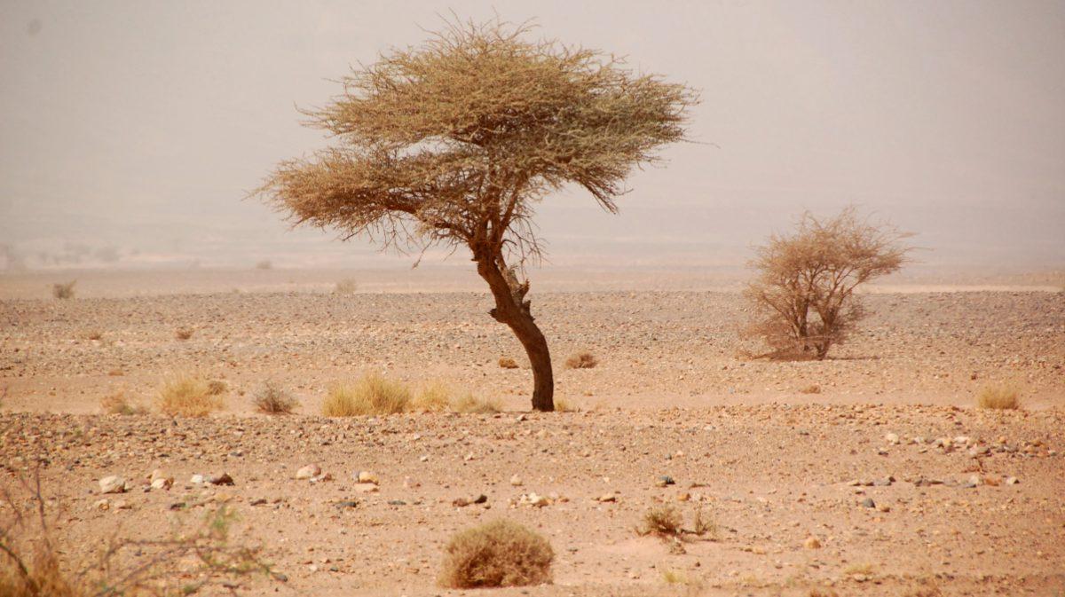 Marocko träd
