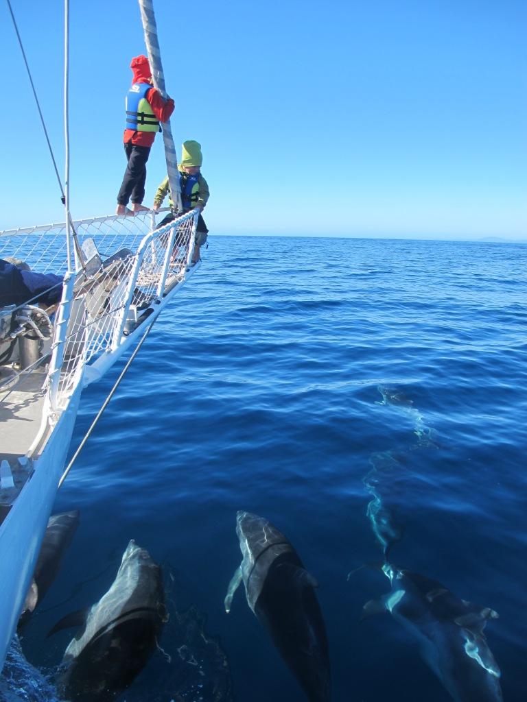 Delfinbesök utanför Tasmanien