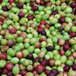 Olivskörd – tio saker du inte visste om oliver
