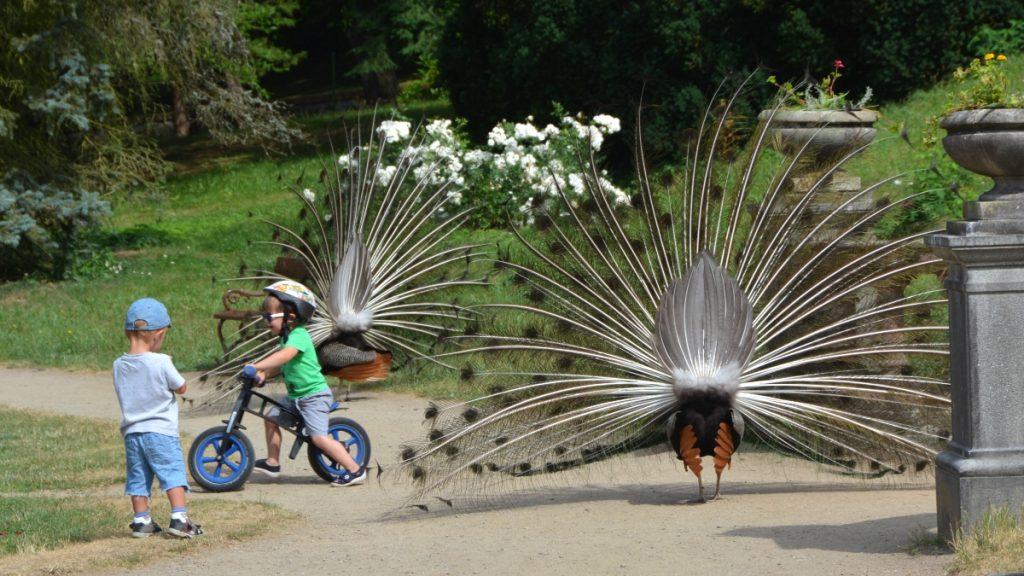 Påfåglar och barn