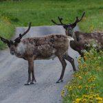 25 fakta om renar – vackra djur på fjället