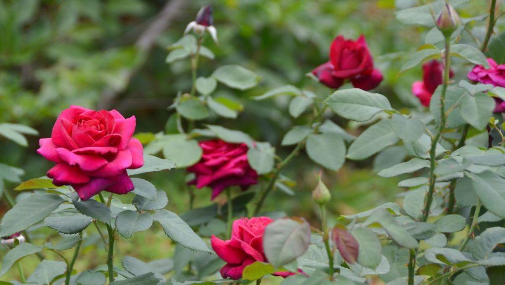 Rosenparken