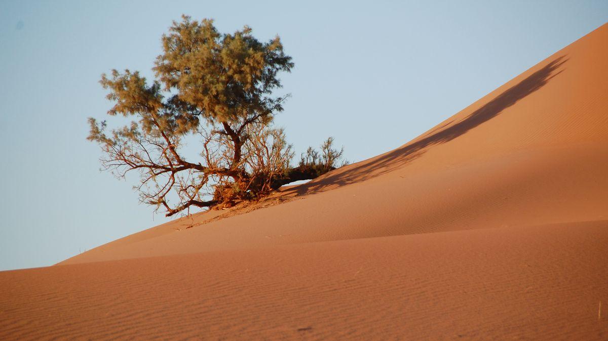 Sahara träd