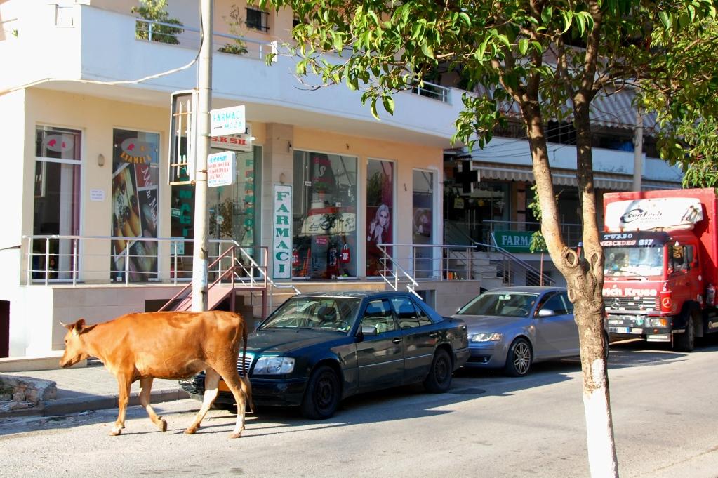 Mitt i Saranda... en ko!