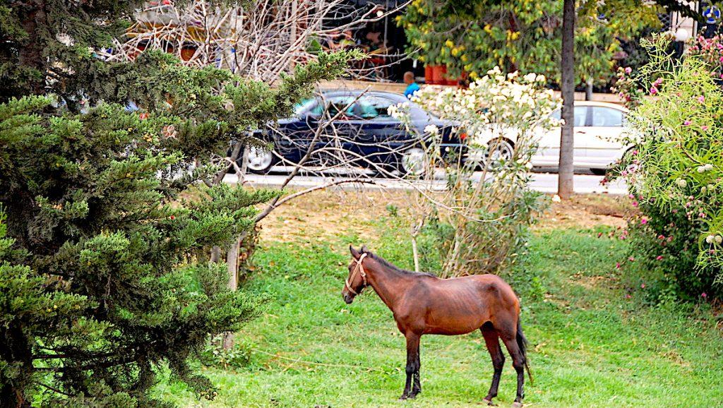 En häst i Tirana centrum i Albanien