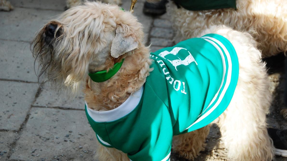 En hel del irländska settrar... och så den här lilla saken, klädd i grönt dagen till ära