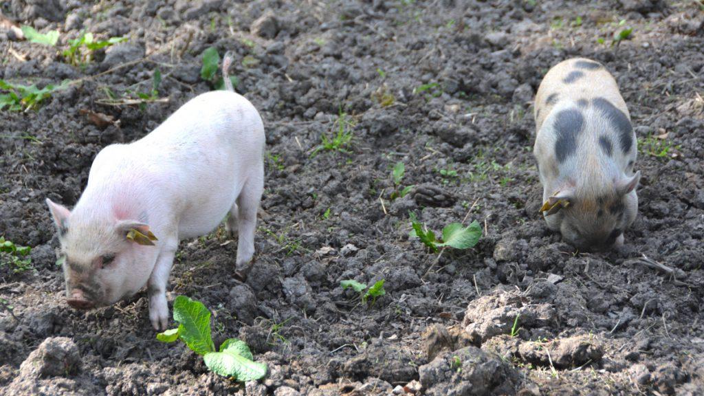 Två grisar på Stora Skuggans 4H-gård