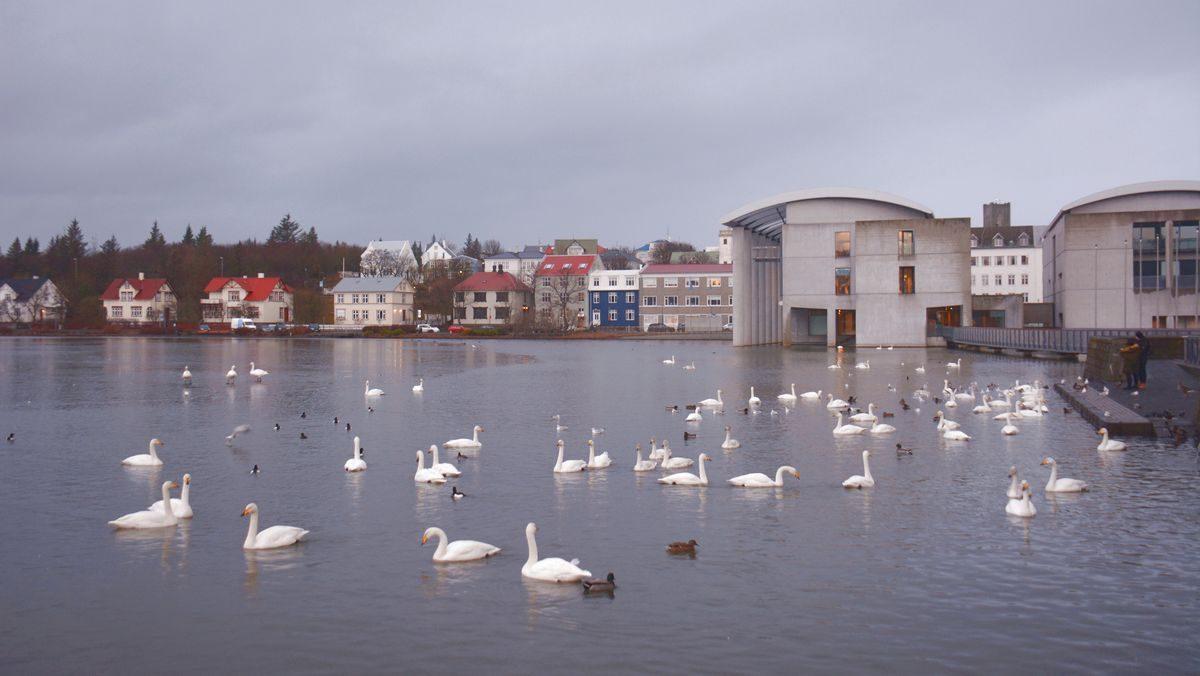 Svanar reykjavik