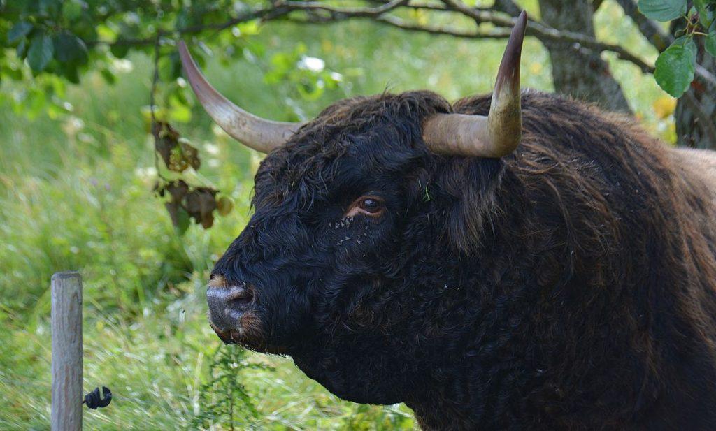 Tjur på Kynö i Estland