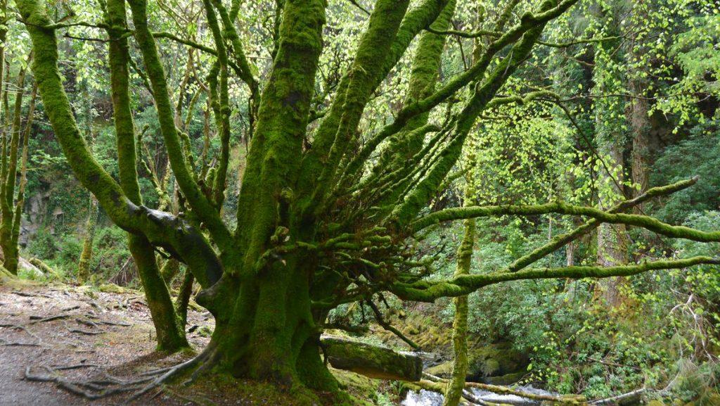 Träd med många armar
