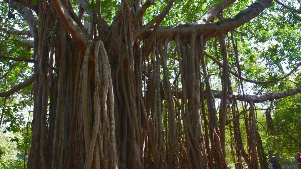 Träd i Sigiriya