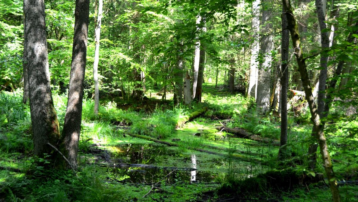 Urskog i Polen