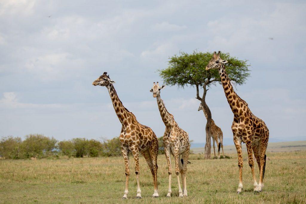 giraffer kenya