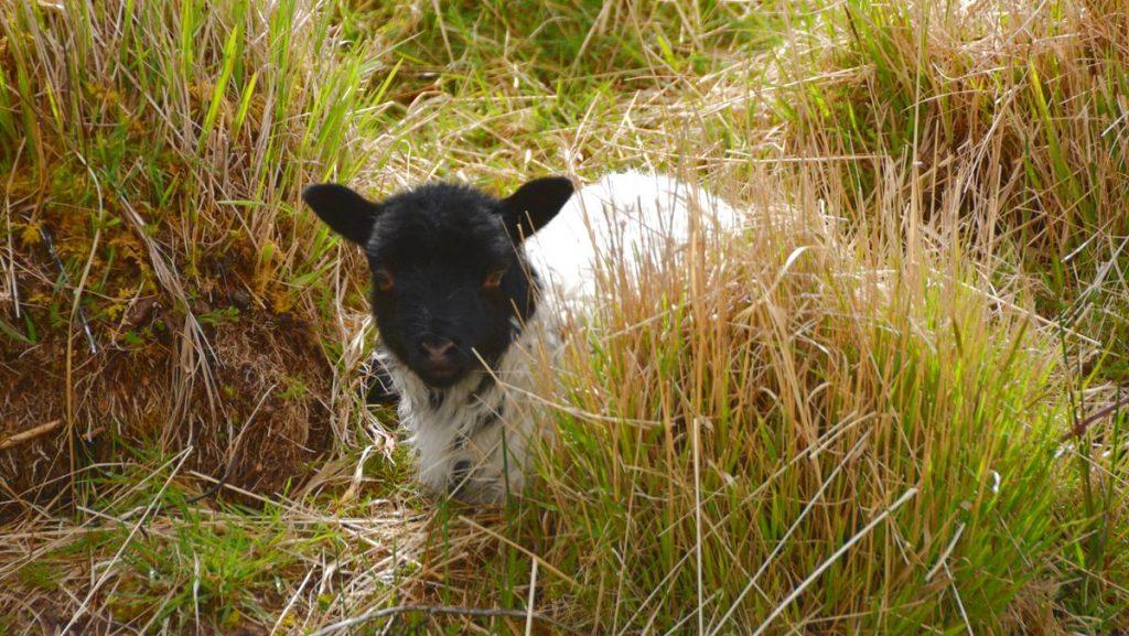 Lammunge Irland